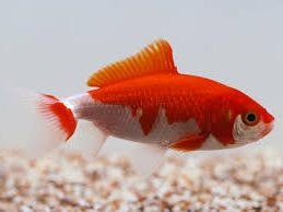 Wakin Goldfish Tunys Tropical Fish Cafe And Fitness Centre
