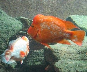 There exists a wide range of different color variations in Red devil cichlids, and two Red devil cichlids from two different geographical regions can display very dissimilar colors. You can for instance get a yellow Red devil cichlid, an orange Red devil cichlid, or an orange-red Red devil cichlid. There is also a small number of white Red devil cichlids to be found. Roughly 10 percent of the Red devil cichlids are xanthomorphic and will alter their coloration as they grow older.