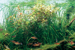 Amano Aquascape Design and AmanoTranslated by Tomoko Schum Takashi Amano advocated the long-term maintenance of Nature Aquarium aquascapes. Thirty years ago, the technology to efficiently grow aquatic plants was still in its infancy,